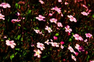 Pink ground cover by designerfied