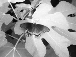 Red-spotted Purple in Black and White by Elistariel