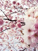 The beauty of Sakura by Kokopa