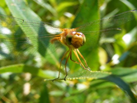 DragonFly... by Redcorp