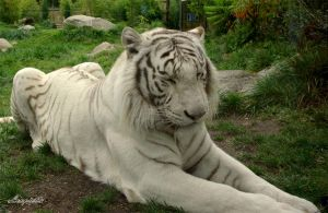 White Tiger by Loupiotte1203