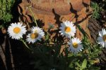 Daisies in the Fall by myeyesinthemirror