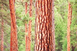 Red Barked Pines by Boomboom34