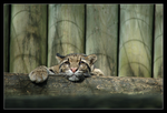 Clouded Leopard LPZ102607 by hoboinaschoolbus