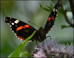Butterfly by FrankAndCarySTOCK