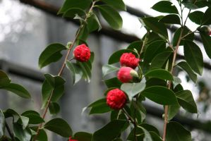 buds of camellias by ingeline-art