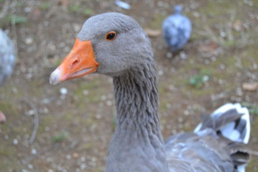 The gray Goose by Haiwan-Demor