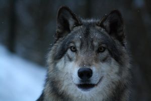 Timberwolf closeup by DarkTara