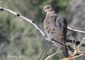 Mourning dove by NTamura