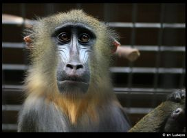 Mandrill by Lunchi