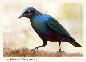 Lesser blue-eared Glossy-starling by Jamie-MacArthur