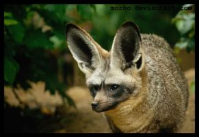 bat-eared fox by morho