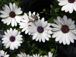 White Daisies by BloodStainedSharpie