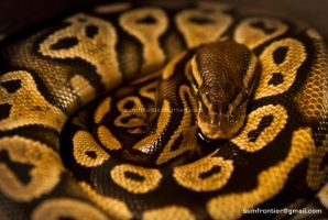 Ball Python by Ashed-Dreams