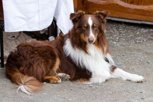 Australian Sheperd Stock by LuDa-Stock