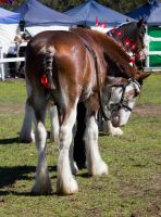 STOCK - Canungra Show 2012 167 by fillyrox