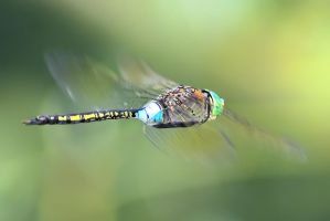 Anax parthenope Flying III by Metalfire77