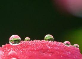 Droplets on petal by duggiehoo