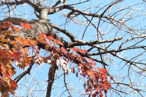 Maple branches invasive by AlejandroCastillo