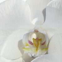 White Orchid 6 by Okavanga