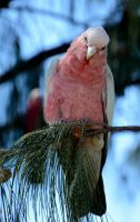 Pink and Grey Galah by MayEbony
