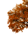 764 Autumn Tree Cutout 03 by Tigers-stock