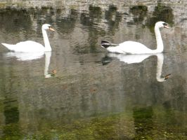 Swans on water by PhotographicJaydiee