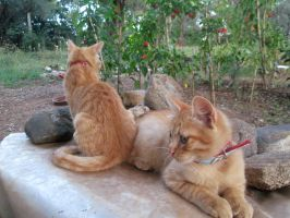 Young red cats 2 by FuriarossaAndMimma