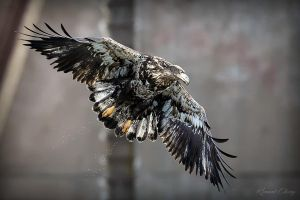 .:Juvenile Bald Eagle:. by RHCheng