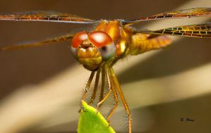 Dragonfly by Grouper