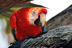 Red.Macaw by OctoberRainne