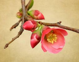 quince blossoms by fotocali