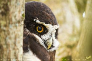 Spectacled Owl by linneaphoto