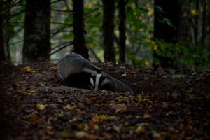 Badger by HenrikHolmberg