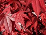 Red Leaves by 123Andras456
