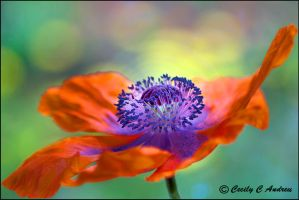 Glorious Poppy by CecilyAndreuArtwork