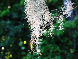 Spanish moss by misducky