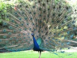 Peacock 2 by BelegStrongbow