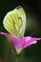Delicate Butterfly by BenBrotherton