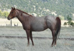 Colorado Red Roan Mare by Mustang-Photography