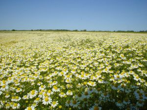Field O' Mini Daisies by Whirly