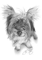 Yorkie Drawing by golfiscool