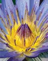 Water Lily Finished by ewm