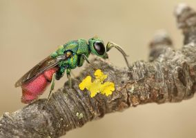 Jewel wasp 2 by ELKAPL