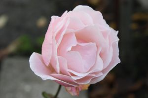 my last rose from my garden by GLO-HE