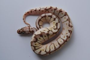 Baby Ball Python 10 by FearBeforeValor