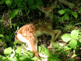 Wild Fawn by Jezhawk-stock