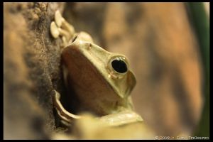 Tree Frog 1 by Vamppy