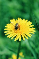 The Busy Bee .. by ST-ST