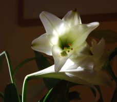 Lillies by mr-macd